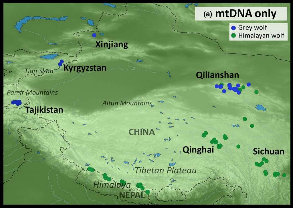 Le loup de l'Himalaya (en vert) vit à des altitudes beaucoup plus élevées que le loup gris (en bleu foncé). © Geraldine Werhahn et al., Journal of Biogeography, 2020