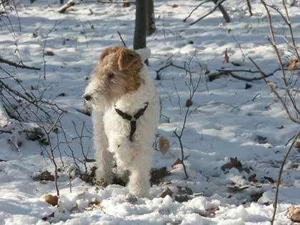 Fox terrier à poil dur qui a inspiré Hergé. © Beate Klose, Wikipedia