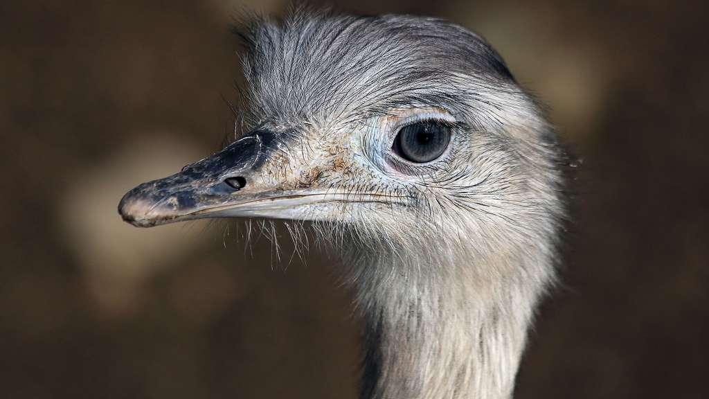 Le nandou d'Amérique, le plus gros oiseau du continent