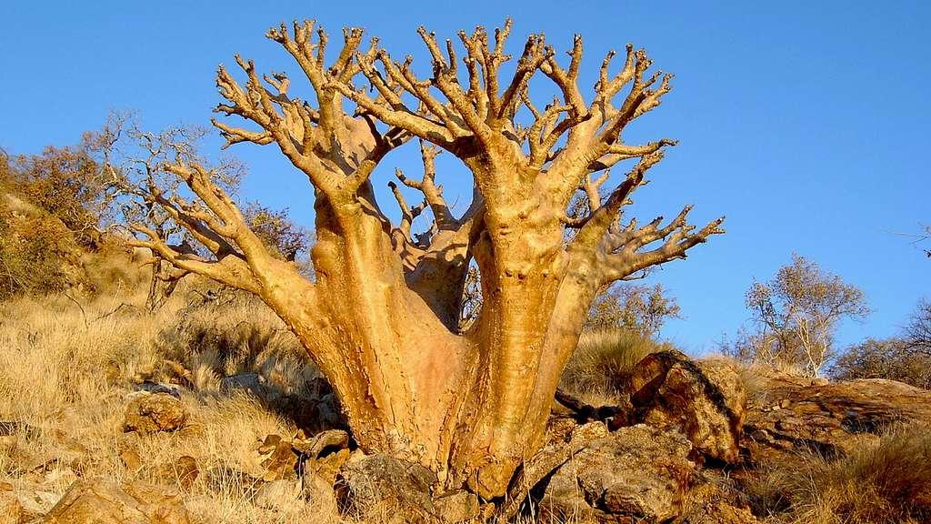 Le cobas, comme un baobab nain