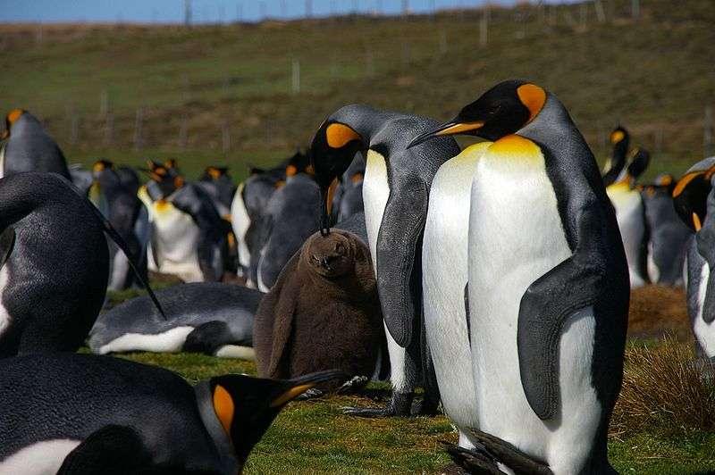 Manchots royaux aux îles Falklands. © Ben Tubby, CC-by-2.0