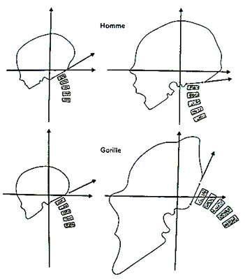 Position et forme des crânes selon la croissance. © DR