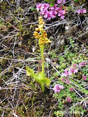 Botrichium lunaria. © Claire König