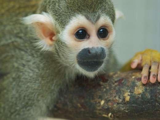 Les singes-écureuils (Saimiri sciureus) sont de petits primates d'Amérique centrale et du Sud sensibles à la musicalité du langage. © M. Böckle, université de Vienne