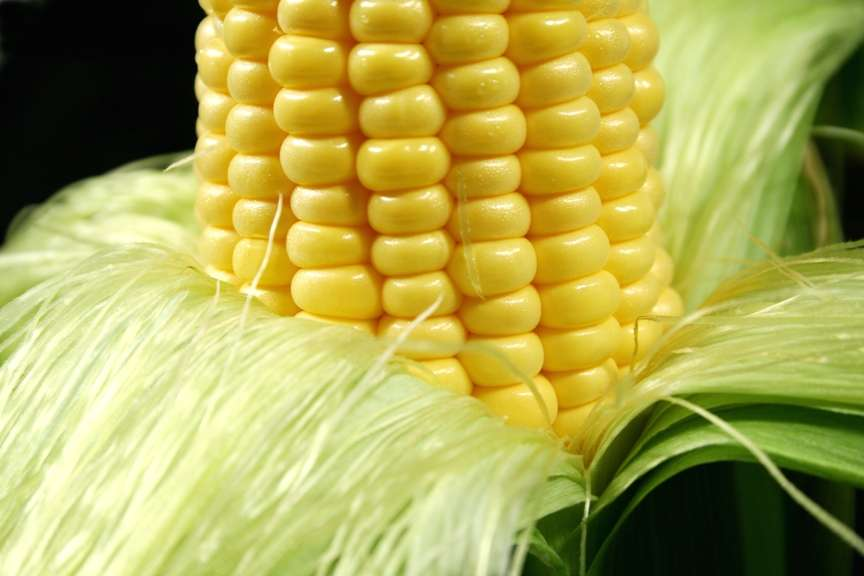 Ce travail remet en cause l'innocuité du maïs OGM NK603 de Monsanto, du moins chez les rats. Mais probablement aussi chez les êtres humains. © Jabiru, www.stockfreeimages.com
