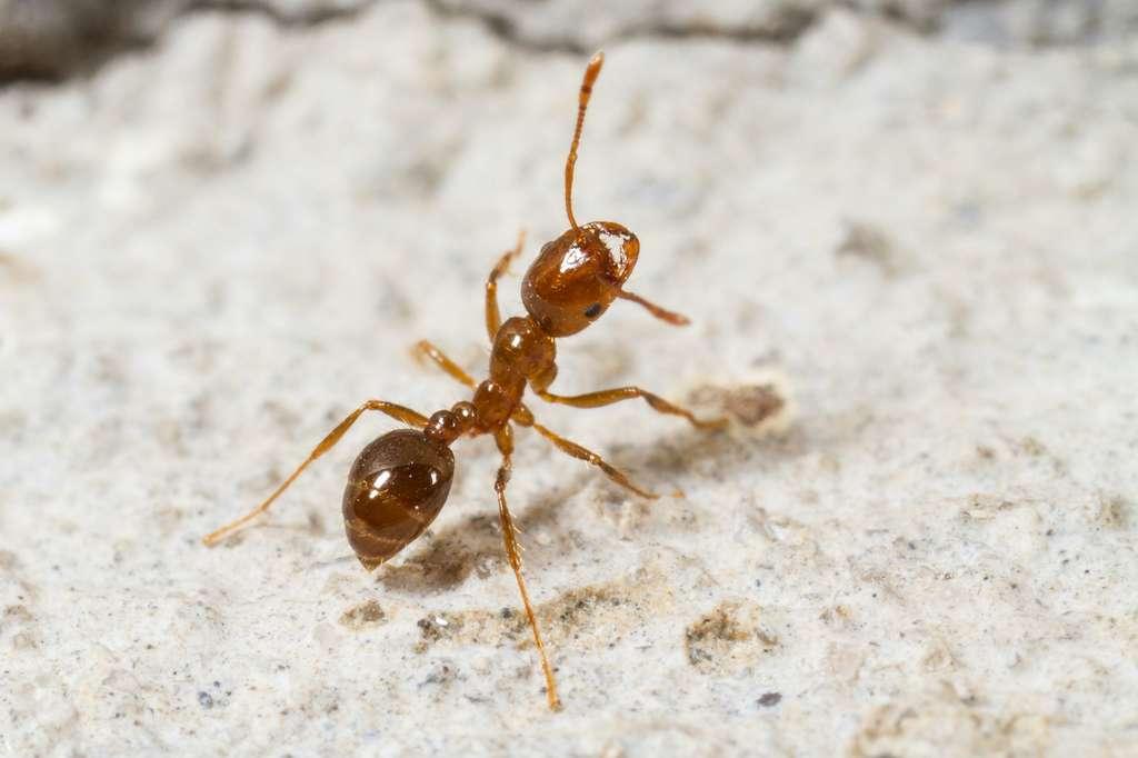 Les fourmis de feu s'attaquent volontiers aux semis et aux pâturages. © elharo, Adobe Stock