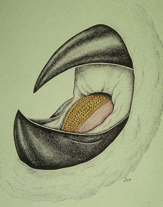 La radula broie la chair découpée par le bec. © Smithsonian Ocean