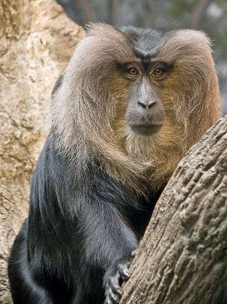 Macaque à queue de lion. © Greg Hume, CC by-SA 3.0