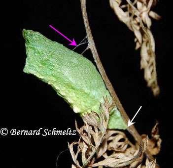 Chez le Machaon (ci-contre), la chrysalide est maintenue, en plus du crémaster (en bas), par une ceinture de soie (flèche rose) secrétée par la chenille avant nymphose ; la tête du papillon est en haut. © Bernard Schmeltz
