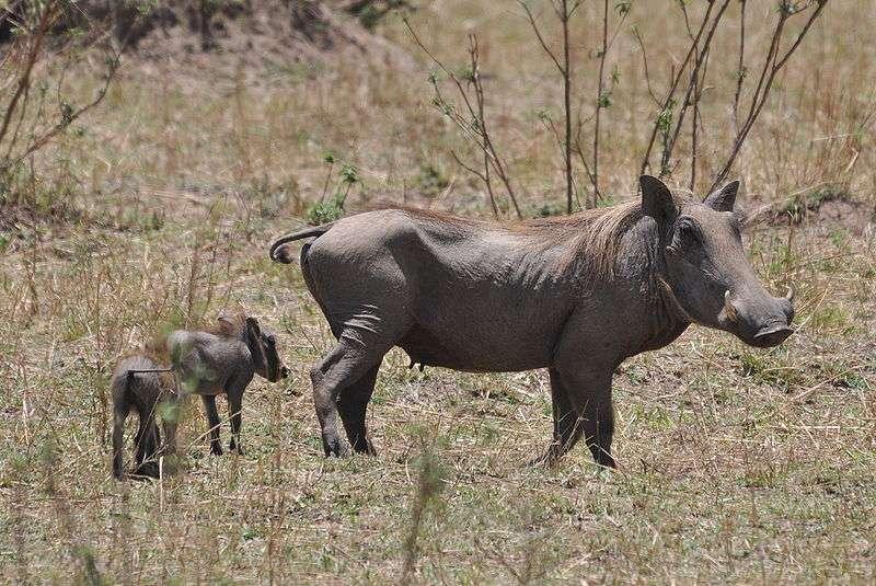 Femelle phacochère et ses petits en Tanzanie. © Caelio, Wikipedia, GNU FDL 1.2