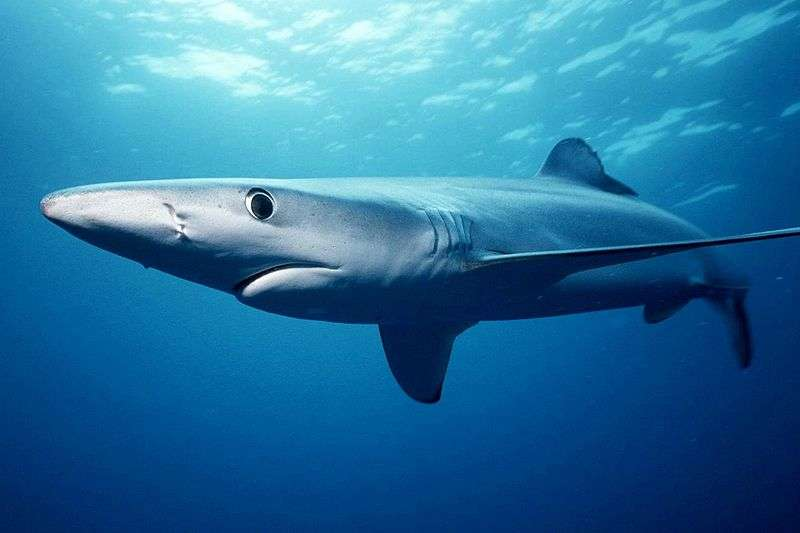 Requin bleu. © Mark Conlin, National Oceanic and Atmospheric Administration, domaine public