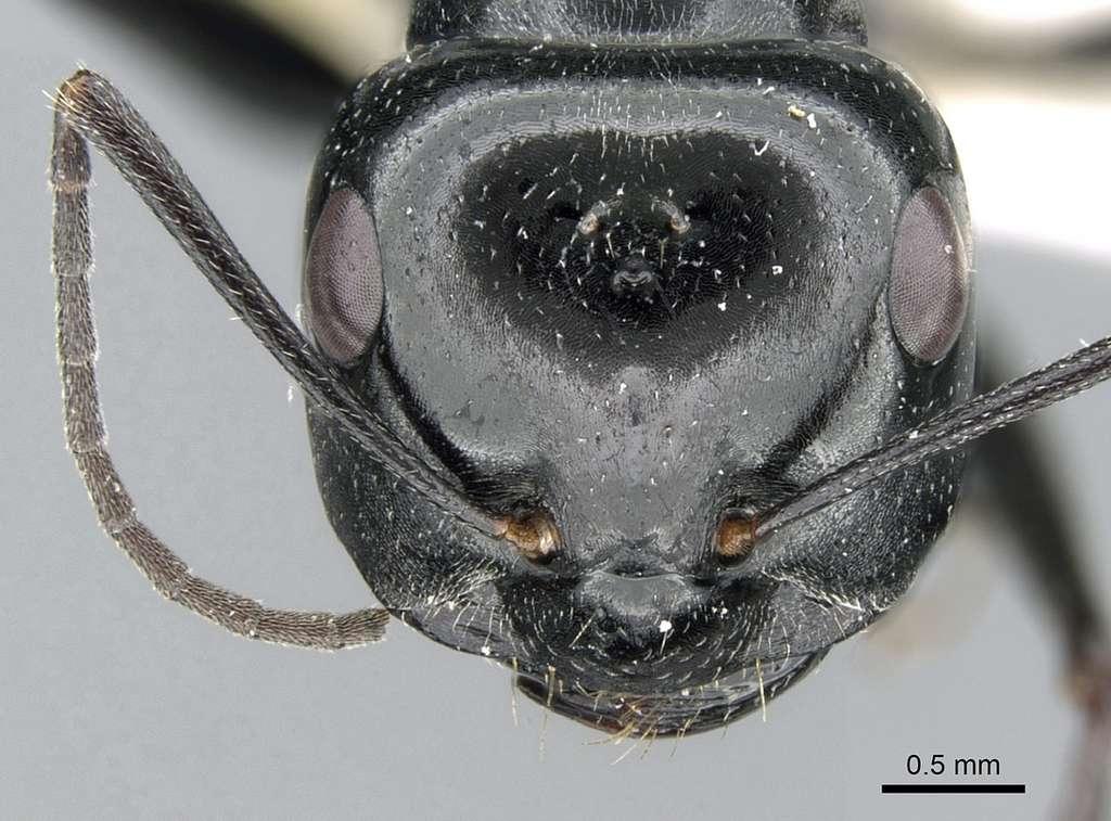 Gros plan sur la tête d'une fourmi du Sahara. © Estelle Ortega, Antweb.org, Wikipedia, CC by-sa-3.0