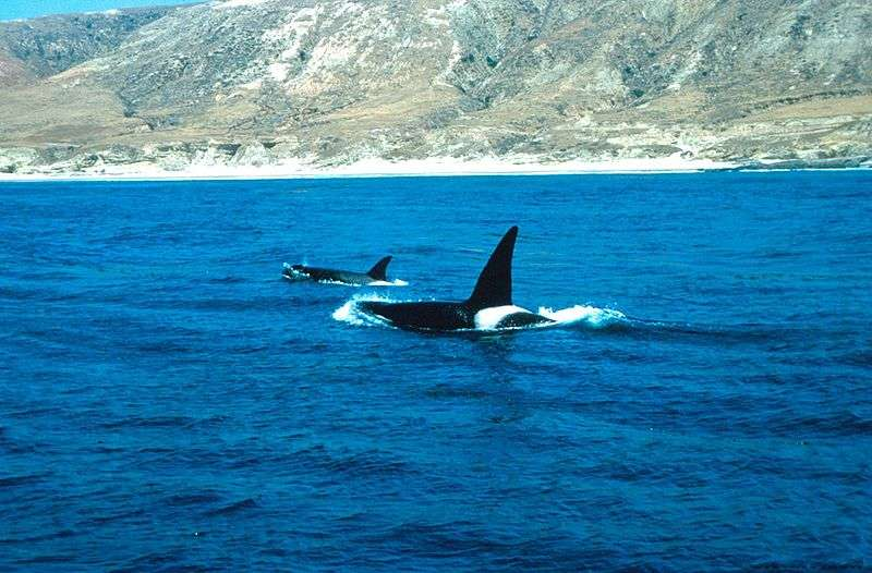 Couple d'orques (le mâle est au premier plan). © Glenn Allen, NOAA, domaine public