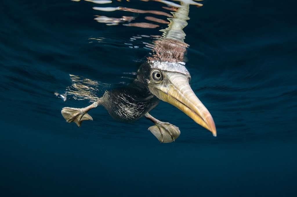 Le fou de Nazca, un oiseau marin des Galapagos