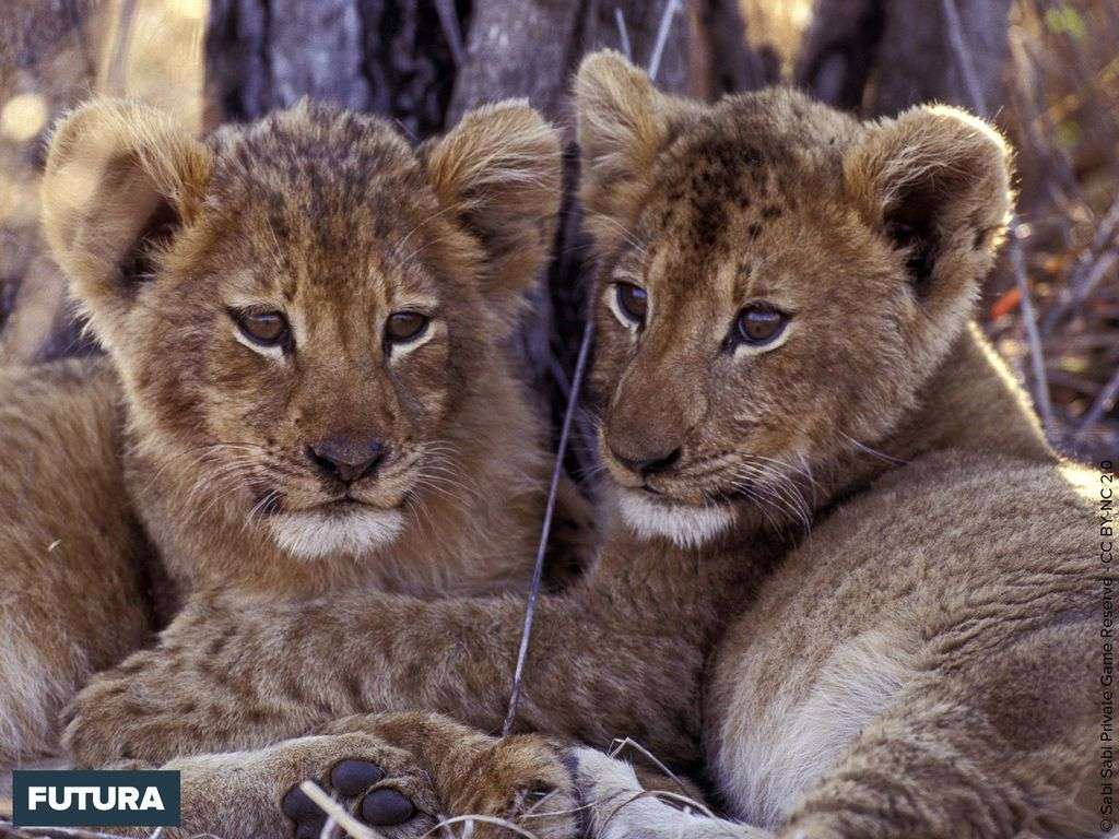 Lions, les deux frères