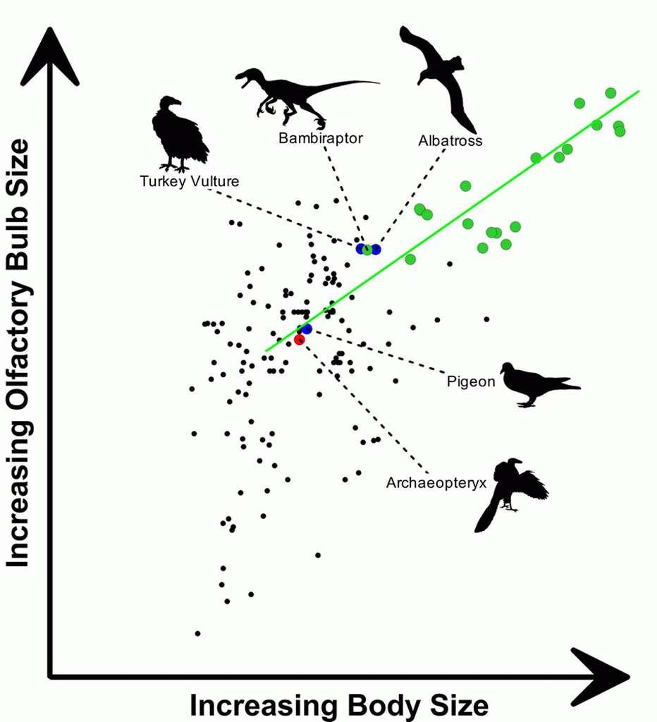 Graphique dont chaque point représente la taille du bulbe olfactif, en fonction de la taille du corps global (en noir les oiseaux, en vert les dinosaures). © Darla Zelenitsky