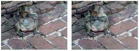 Macaque occupé à se passer du fil dentaire. Crédit : université de Kyoto