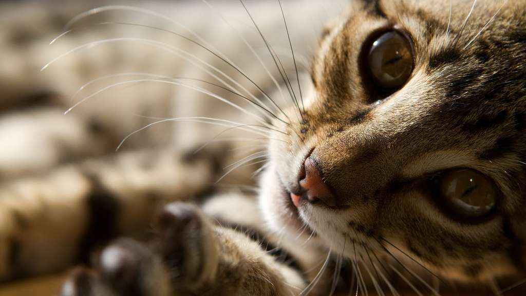 Le savannah, moitié chat moitié serval