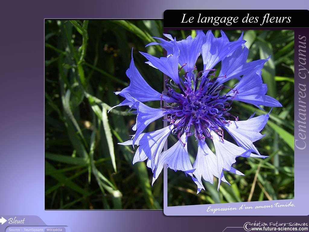 Bleuet amour timide