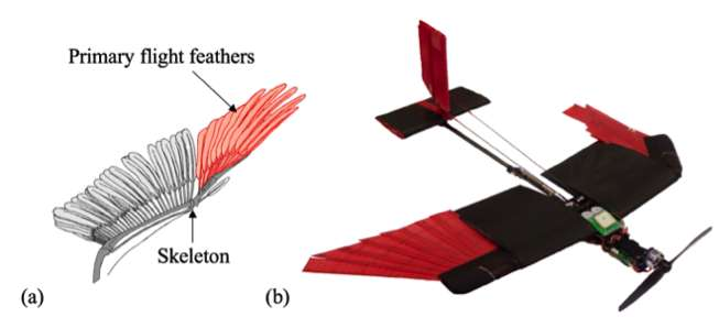 Des ingénieurs de l'École polytechnique fédérale de Lausanne (Suisse) ont imaginé un drone doté d'ailes rétractables et recouvertes de plumes. De quoi le rendre plus maniable et lui permettre de mieux s'adapter à différentes conditions de vol (vents, obstacles, etc.). La figure (a) montre le squelette (Skeleton) d'une aile d'oiseau avec ses plumes et, en rouge, sa partie la plus mobile, les rémiges primaires (Primary flight feathers). Le drone de l'EPFL reproduit partiellement cette structure. © École polytechnique fédérale de Lausanne