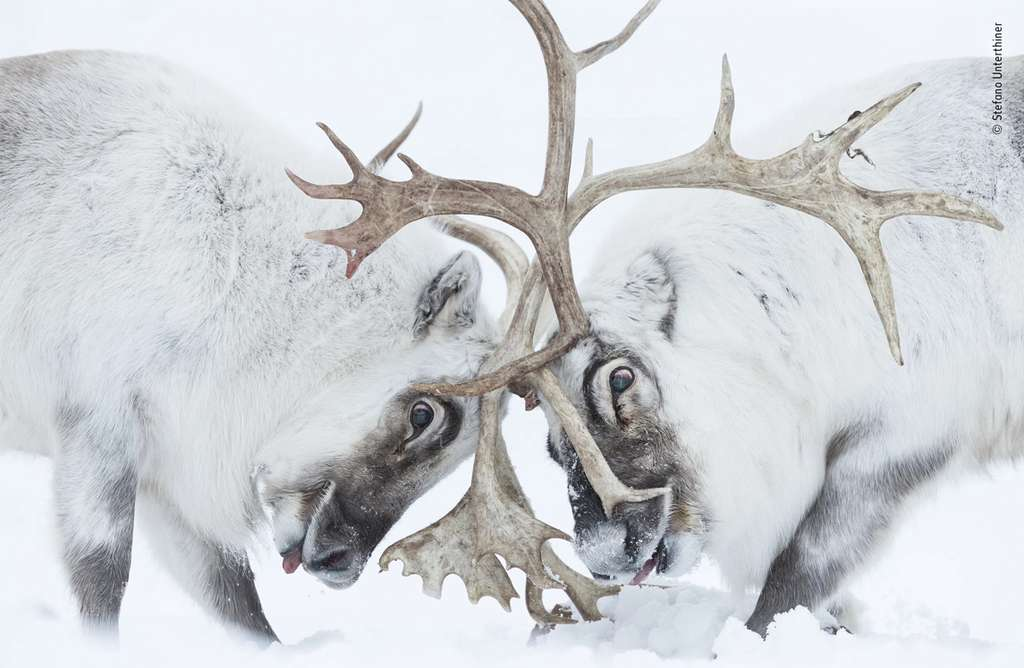 C'est le mâle dominant, à gauche, qui est sorti vainqueur de ce « Tête à tête ». © Stefano Unterthiner, Wildlife Photographer of the Year