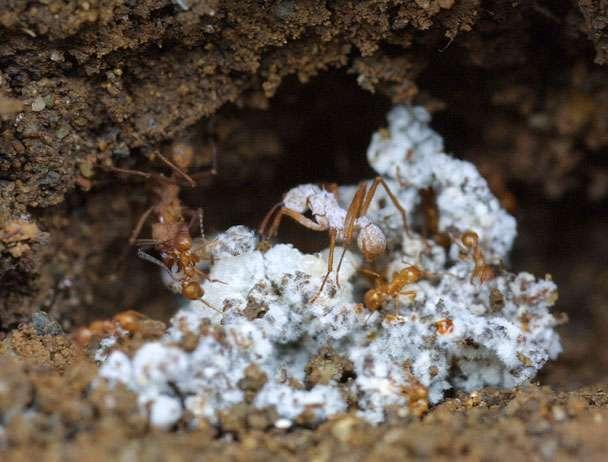 Fourmis champignonnistes. Vue d'un fragment de jardin à champignon recouvert du feutrage mycélien blanc. L'ouvrière est recouverte d'une bactérie filamenteuse qu'elle élève afin de produire un antifongique qui protège le champignon symbiote. © B. Baer