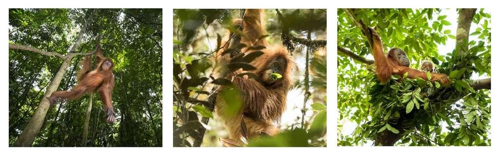 Les orangs-outans sont solitaires et arboricoles par nature. © Maxime Aliaga, tous droits réservés