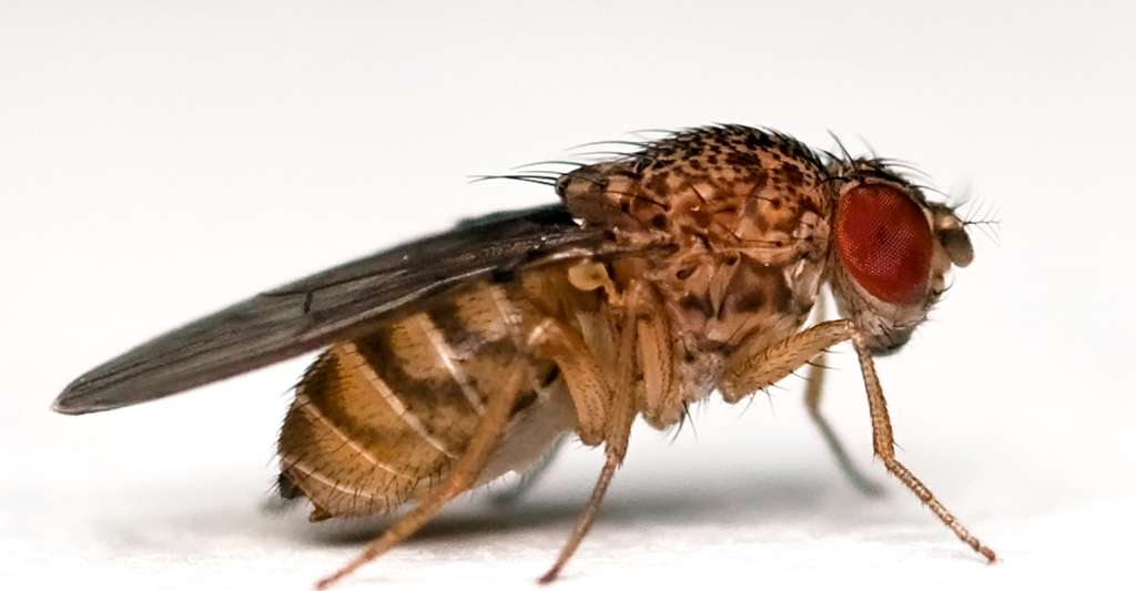 Drosophila repleta. © Bbsli - CC BY-SA 3.0