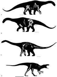 Les silhouettes supposées des trois espèces découvertes avec, en incrustation, les ossements récupérés (cliquer pour agrandir). A et B : Diamantinasaurus matildae. C : Wintonotitan wattsi. D : Australovenator wintonensis. © T. Tischler, Australian Age of Dinosaurs Museum of Natural History
