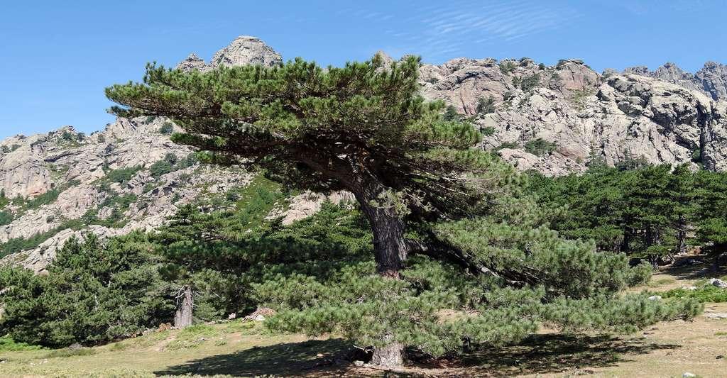 Pin Laricio, Corse. © Bensliman Hassan, Shutterstock