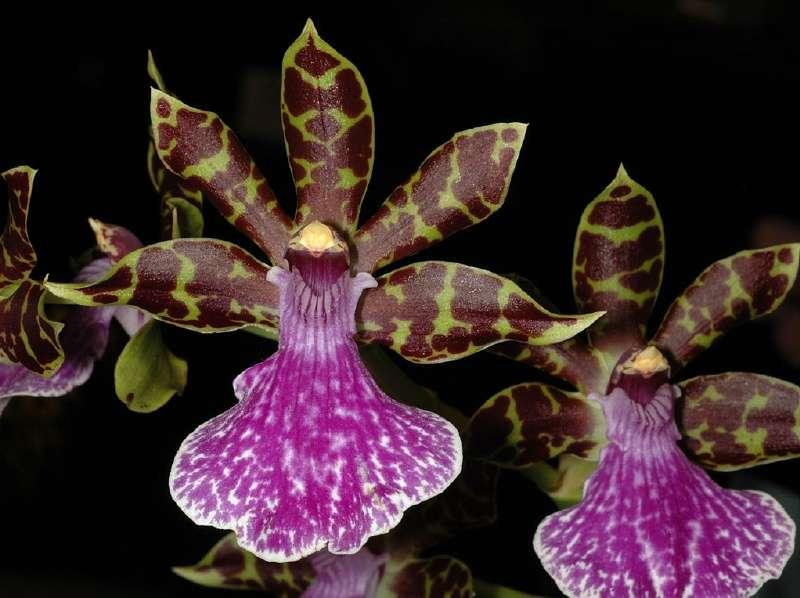 Orchidée Zygopetalum Redvale