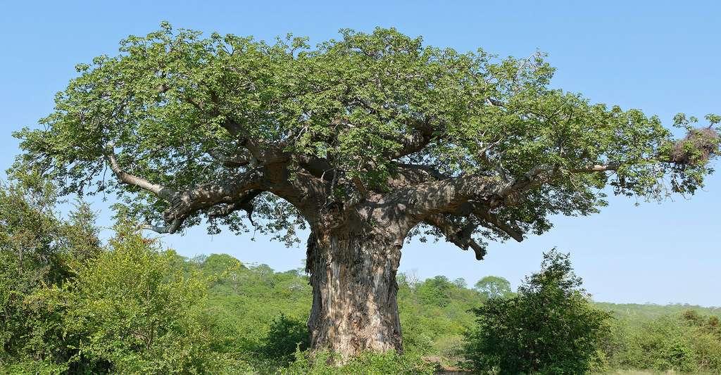 Baobab africain (Parc national Kruger, Afrique du Sud). © Bernard DUPONT, Wikimedia commons, CC by-sa 2.0