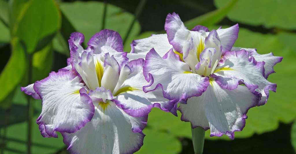 Les iris offrent une grande variété de couleurs. © Ram-Man, Wikimedia commons, CC by-sa 3.0