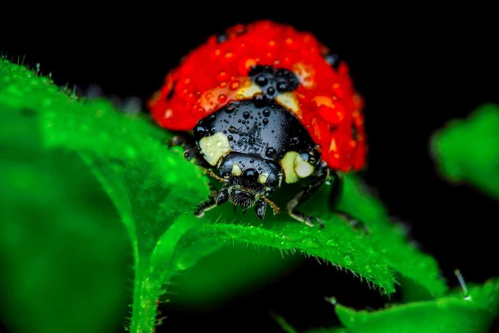 Une extinction de masse est en cours dans le monde des insectes. En cause : la destruction de leurs habitats. La coccinelle fait partie de l'ordre des coléoptères, l'un des plus menacés. © blackdiamond67, fotolia