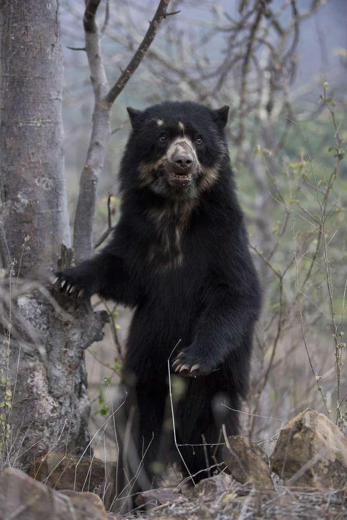 L'ours à lunettes de la cordillère des Andes