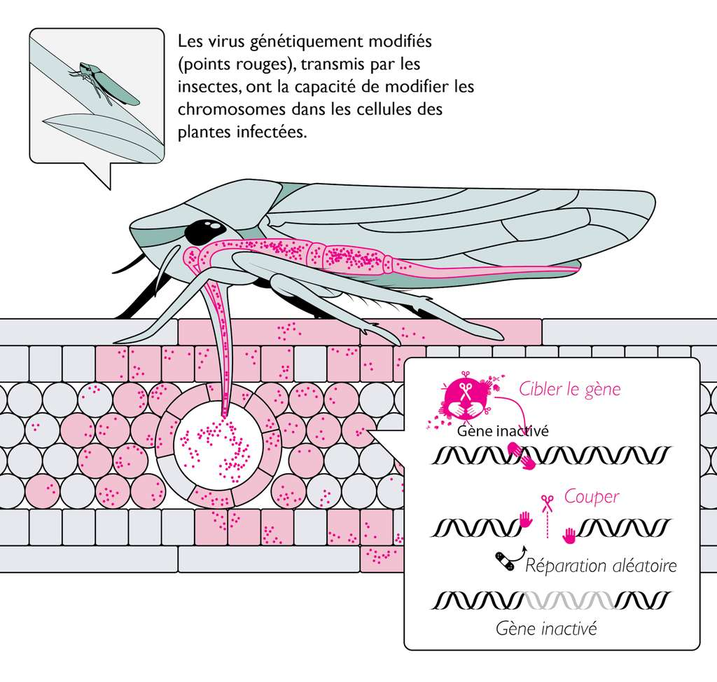 L'HEGAA (Horizontal Environmental Genetic Alteration Agents) consiste à utiliser des virus génétiquement modifiés pour modifier les chromosomes d'une espèce cible, animale ou végétale. © Derek Caetano-Anollés
