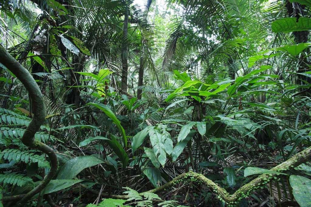 Forêt primaire amazonienne et sa canopée