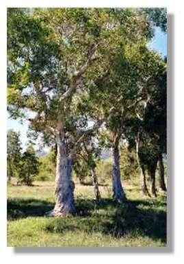 Le niaouli (Melaleuca quinquenervia)© J.J. Espirat