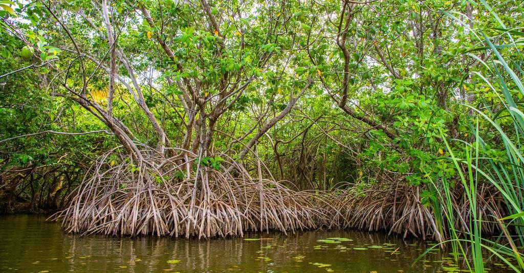 Dans la mangrove on peut observer à l'œil nu à quel point les racines représentent une masse importante, et généralement invisible, des plantes. © danydory, Pixabay, CC0 Creative Commons