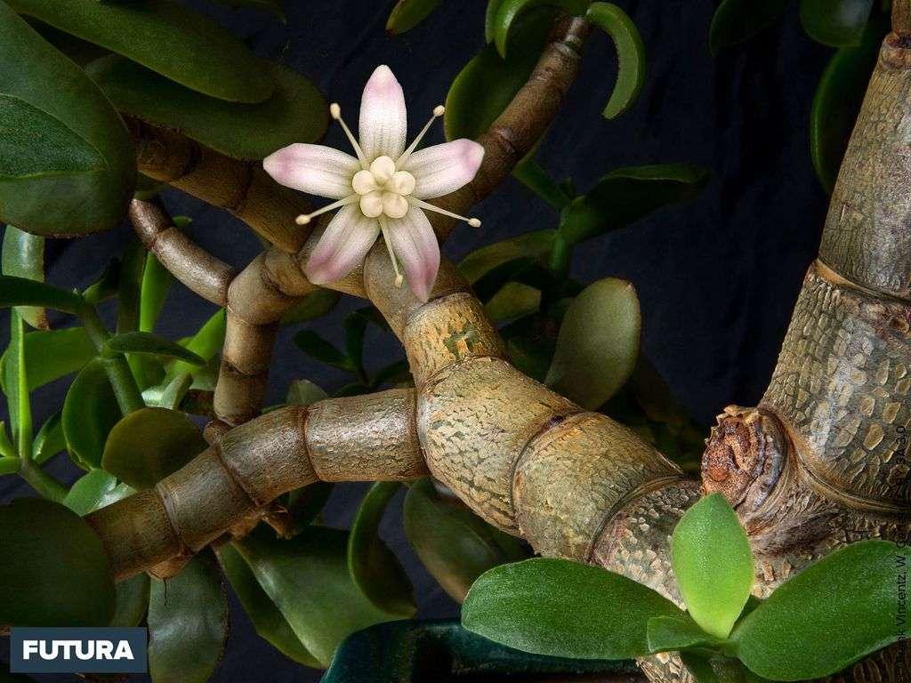 L'arbre de jade, plante succulente originaire d'Afrique du Sud