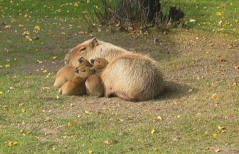 Femelle capybara et ses petits. © Bradypus - GNU FDL Version 1.2