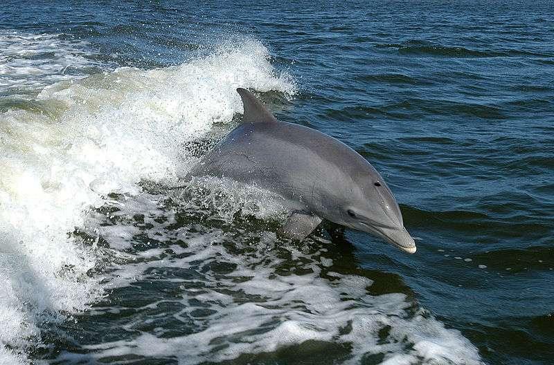 Dauphin surfant sur une vague. © Nasa, domaine public