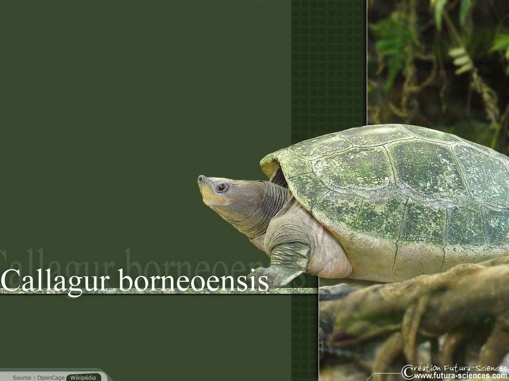 Tortue callagur Borneoensis