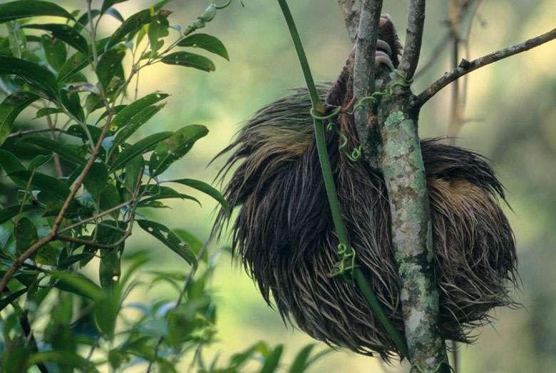 Le paresseux à gorge brune (Bradypus variegatus), une boule de poils aux couleurs de la forêt. © Sylvain Lefebvre et Marie-Anne Bertin, DR
