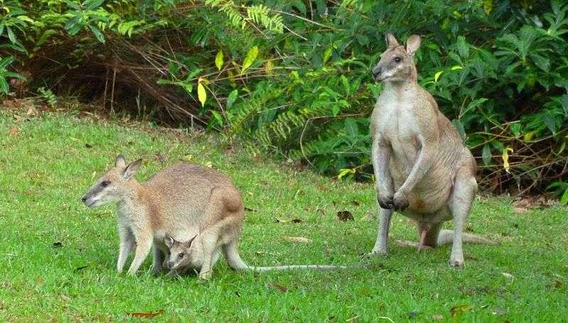 Famille de wallabies agiles. © John Hill, Wikipédia, cc by sa 3.0