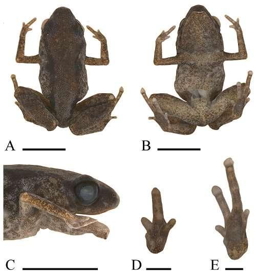 Détails de P. dekot. A : vue dorsale, B : vue ventrale, C : vue de profil, D : main gauche, E : pied gauche (barre d'échelle : 5 mm pour A-C et 1 mm pour D-E). © Kraus 2011, ZooKeys