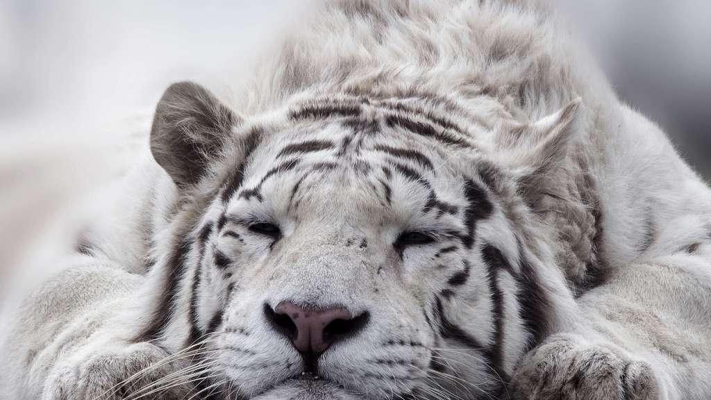 Un tigre inadapté
