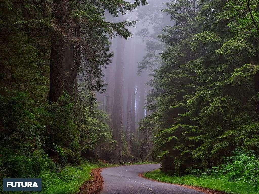 Parc national de Redwood Californie, dont le nom provient du séquoia à feuilles d'if