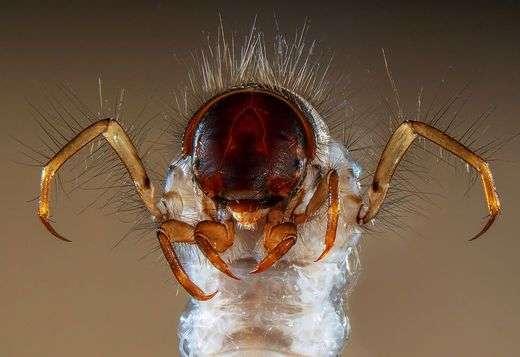 La tête effrayante d'une larve de trichoptère