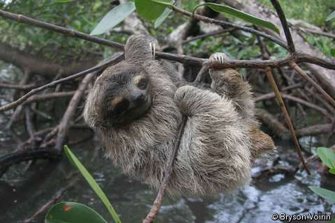 Le paresseux nain (Bradypus pygmaeus), découvert en 2001 et endémique d'une île au Panama, est classé en danger critique d'extinction par l'UICN. © UICN/Bryson Voirin
